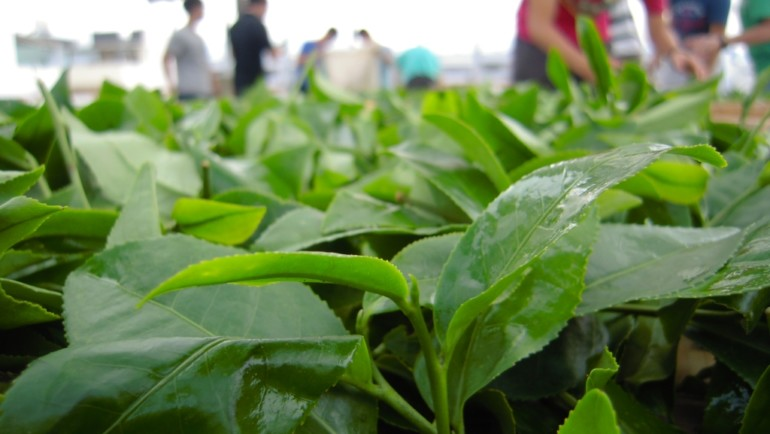 台灣半球型包種茶製造流程